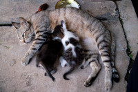 Mama Grey Cat and her Kittens